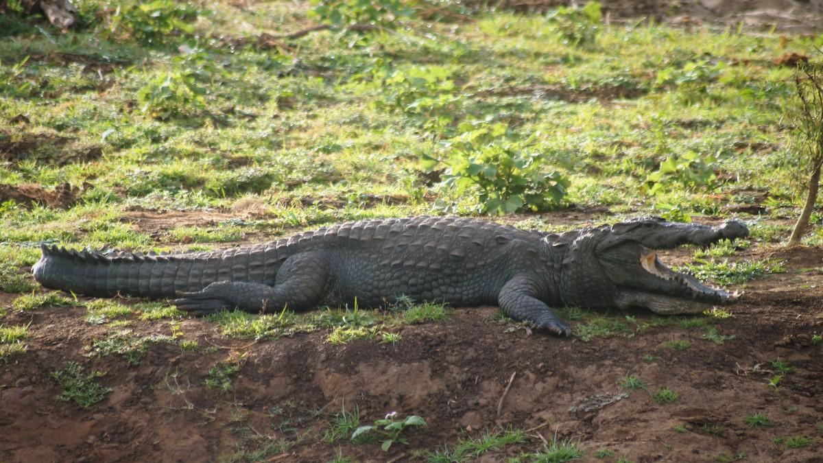 Udawalawe with kids - crocodile