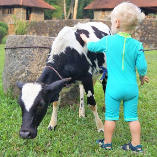 Living Heritage Koslanda - cow