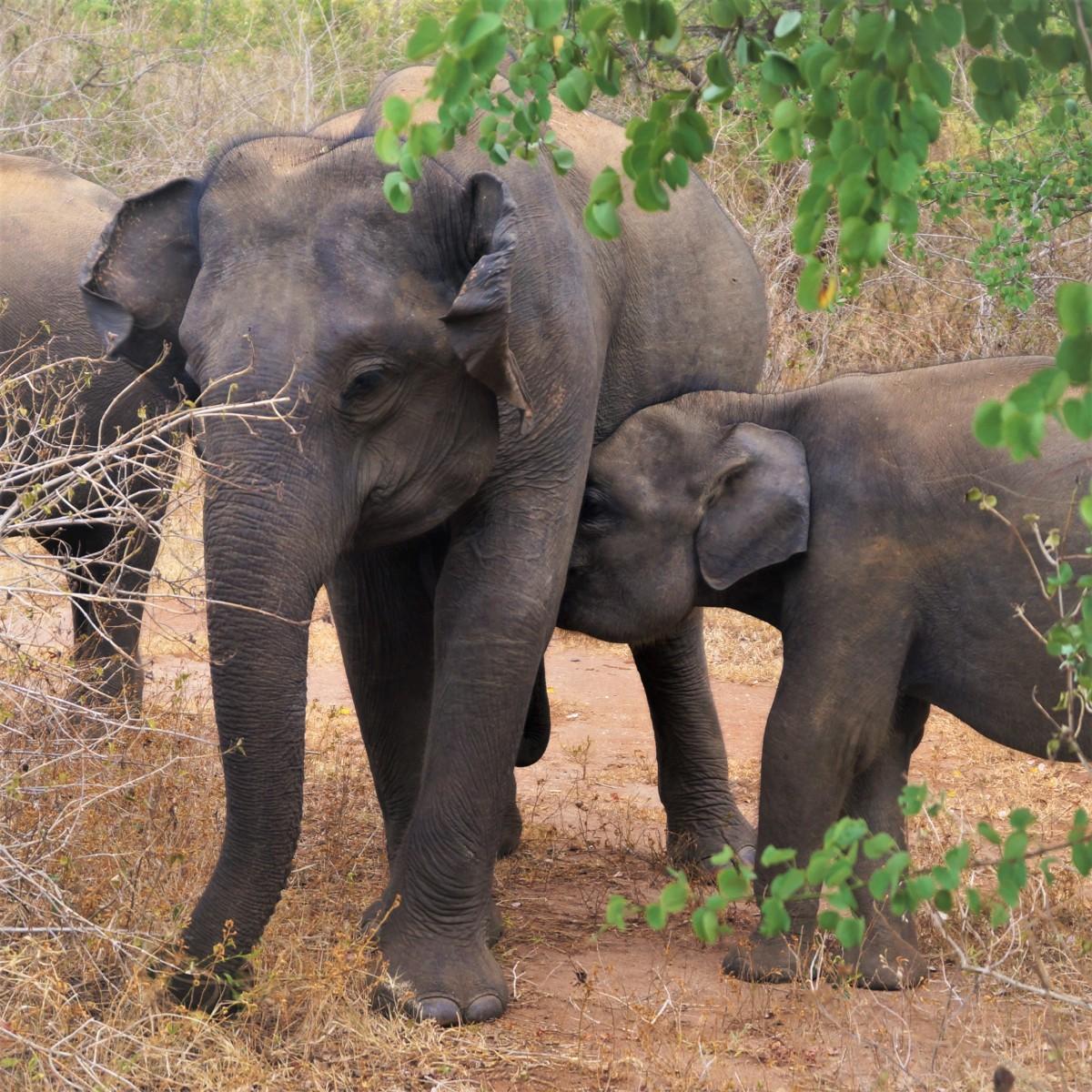 Udawalawe with kids - elephants
